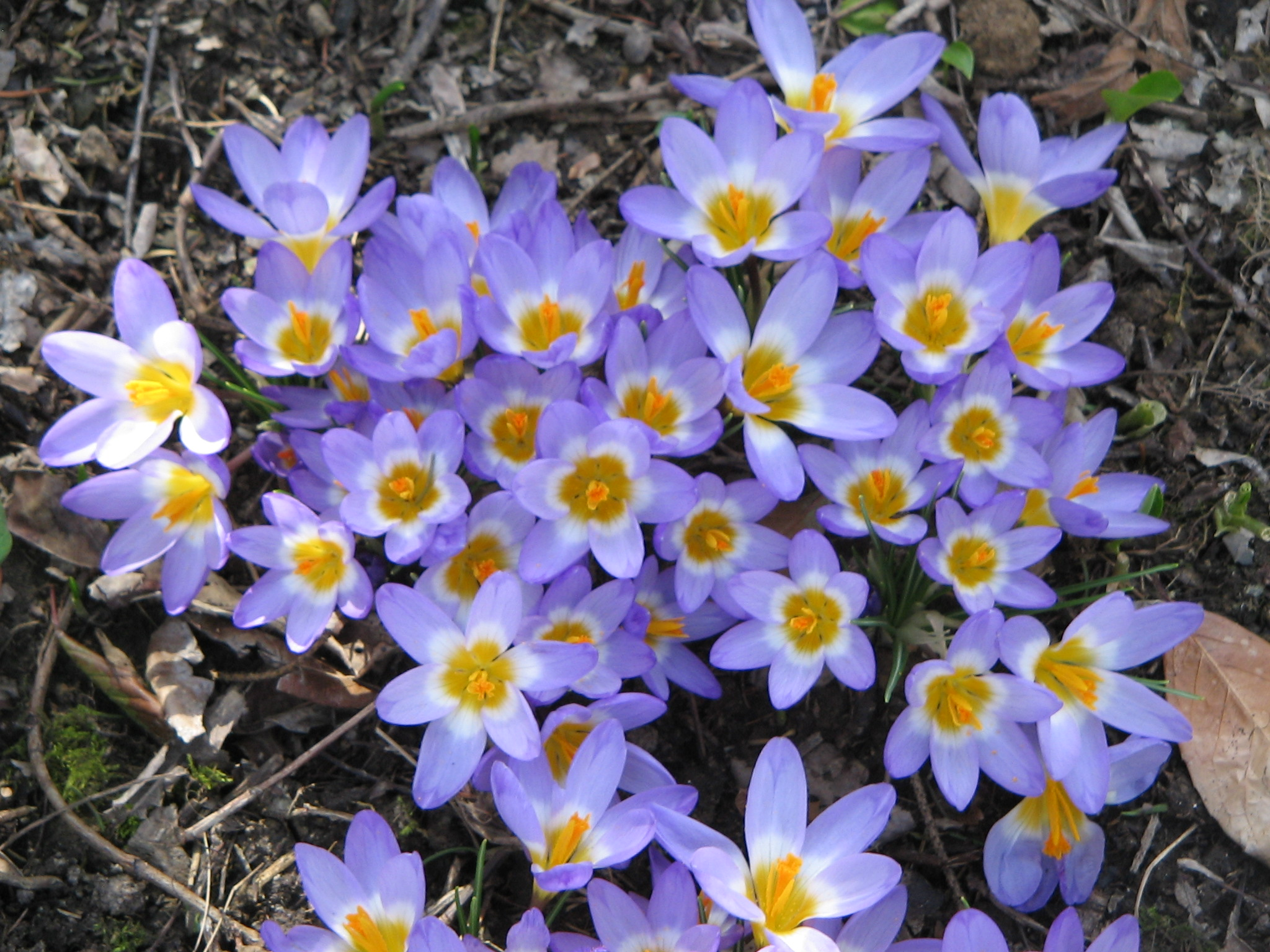 Flower Of The Year 2015: Crocus Sieberi Tricolo
