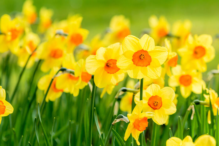 Flower Of The Year 2017: Daffodils